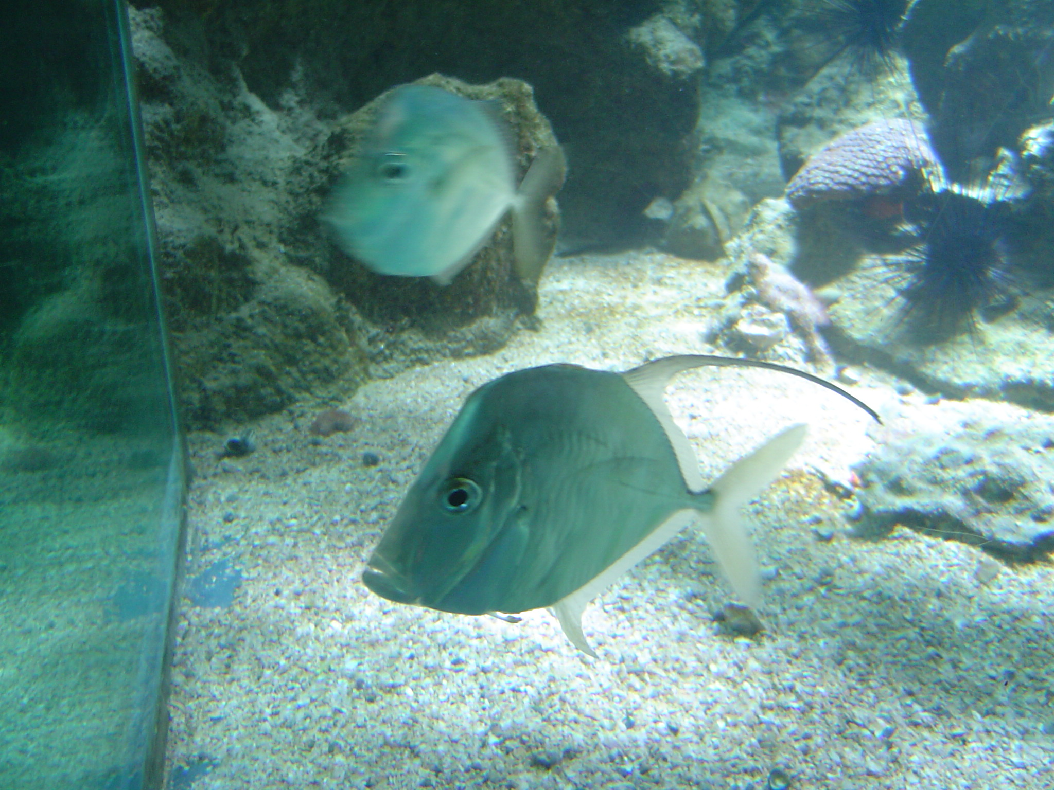 lookdown fish at the Guadeloupe Aquarium
